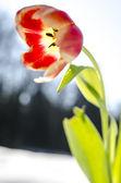 Closeup of a tulip flower — Stock Photo