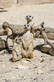 Suricate family — Stock Photo
