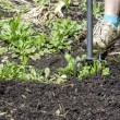 Hoeing in the garden - Stock Photo