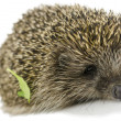 Hedgehog with green leaf — Stock Photo