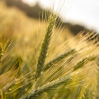 Ripening wheat field — Stock Photo #27628197