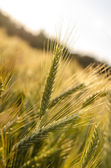Ripening wheat field — Stock Photo
