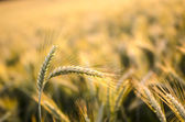 Wheat ears in summer — Stock Photo