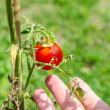 Caring for homegrown tomatoes — Stock Photo