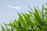 Corn field detail — Stock Photo