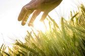 Hand over wheat field — Stock Photo
