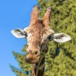 Stock Photo: Giraffe head