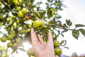 Harvesting apples — Stock Photo