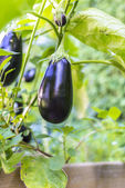 Growing eggplants — Stock Photo