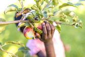 African girl picking apple — Stock Photo