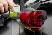 Restoring the beauty of a red rose — Stock Photo