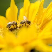 Two honey bees on a yellow sunflower — 图库照片