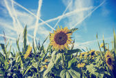 Field of sunflowers with contrails in a blue sky — Stock Photo