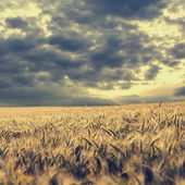 Storm clouds gathering over a wheat field — Stock Photo
