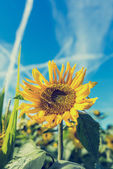 Bright fresh yellow sunflower — Stock Photo