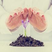 Man protecting a sprouting spring freesia — Stock Photo