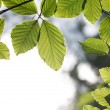 Beech leaves — Stock Photo #46398221
