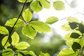 Folhas frescas de faia — Fotografia Stock