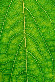 Macro shot of beech leaf — Stock Photo