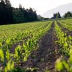 Corn field in late spring — Stock Photo #48014799