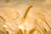 Golden wheat ear — Stock Photo