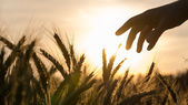 Hand of a farmer touching wheat field — Stock Photo