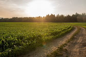 Sunrise over a field of young maize plants — Stock Photo