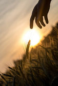 Dawn over a field of wheat and a hand silhouette — Stock Photo