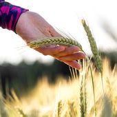 Woman holding a ripening ear of wheat — Stock Photo