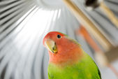 Rosy Faced Lovebird in a cage — Stock Photo