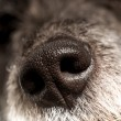 Close up of the cold wet nose of a dog — Stock Photo #51620061
