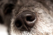 Close up of the cold wet nose of a dog — Stock Photo