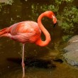 Carribean flamingo, South Africa — Stock Photo