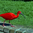 Stock Photo: Scarlet Ibis in Birds of Eden, South Africa