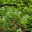 Indian bean tree - Stock Photo