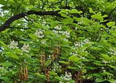 Indian bean tree — ストック写真