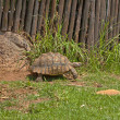 Tortoises move slowly — Stock Photo