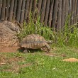 Tortoises move slowly — Stock Photo #27460849