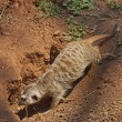 Meerkat or suricate dig hole in earth — Stock Photo #27460853