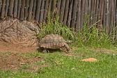 Sköldpaddor flytta långsamt — Stockfoto