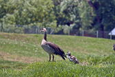 Goose with small gosling at grass — Stock Photo