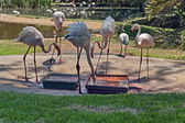 Carribean flamingos group lunch — Stock Photo