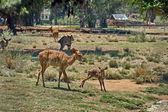 Striped doe deer and fawn — Stock Photo