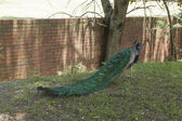Colored train of male indian Peafowl (peacock) — Stock Photo