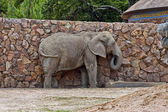 African elephant at the wall — Stock Photo