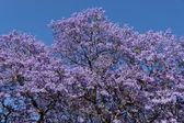 Jacaranda blossom background — Stock Photo