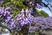 Jacaranda blossom - flowers closeup — Stock Photo