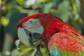 Ljusröd ara papegoja äter — Stockfoto
