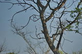 Woodpecker eavesdrop one dry tree — Stock Photo