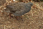 Cape Spurfowl or Cape Francolin — Stock Photo